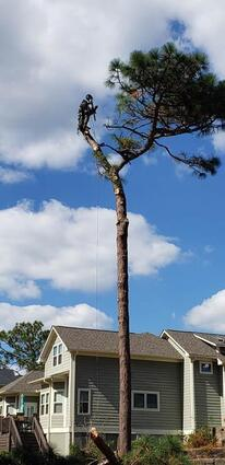 Mathew Ammel with Tree Fellers removing a pine tree in Nashville Tennessee